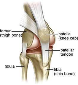 The ligaments of the knee the bodyworks clinic marbella spain knee ligaments ccuart Images