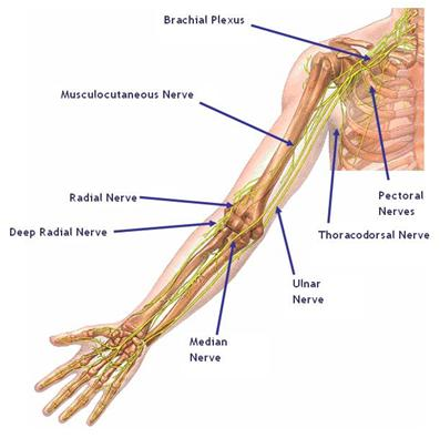 The median nerve runs from the neck to the wrist through the Carpal Tunnel