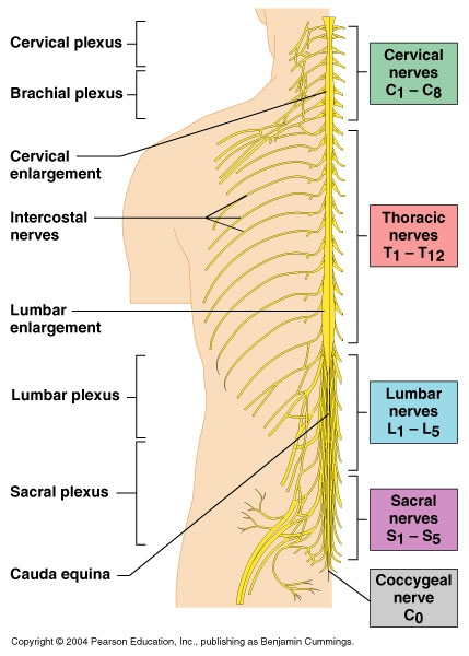 Spinal nerves and sciatica
