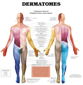 Dermatomes can be useful in diagnosing nerve pain