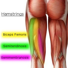Group of hamstring muscles
